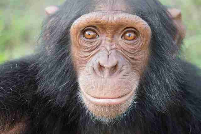 Chimp saved from zoo in war zone