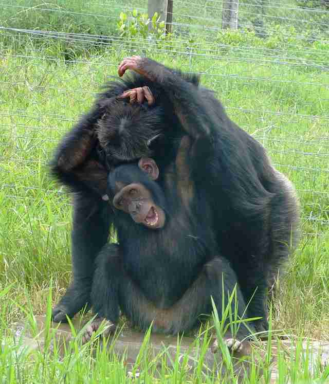 Rescued chimps bonding at sanctuary