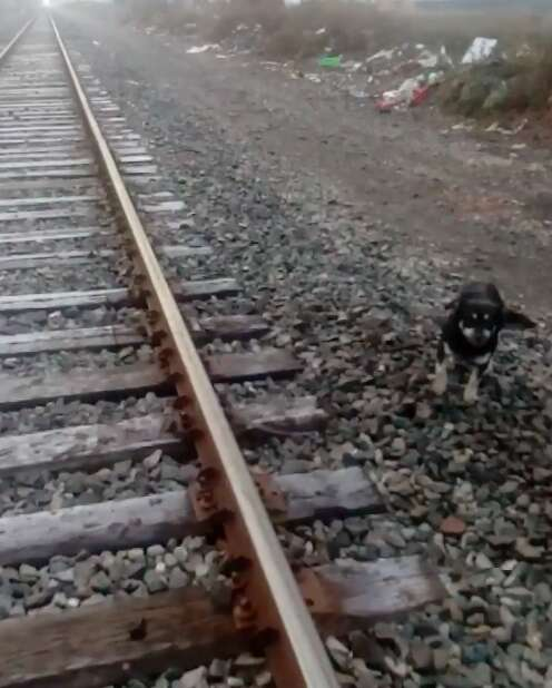 Dog saved by train driver