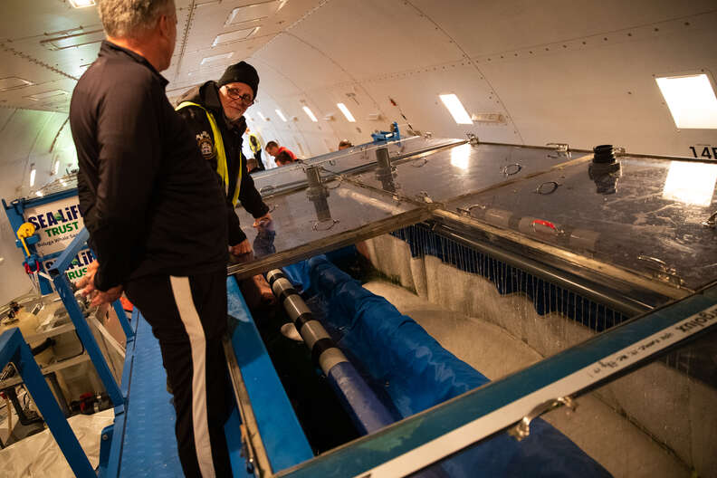 Beluga whales from China retiring in sea sanctuary in Iceland