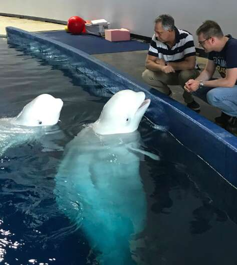 Beluga whales from Chinese aquarium to retire in Iceland