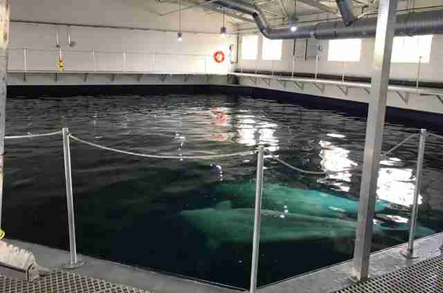 Belugas retiring to open water sanctuary in Iceland