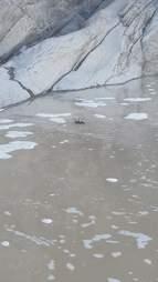 swimming tarantula