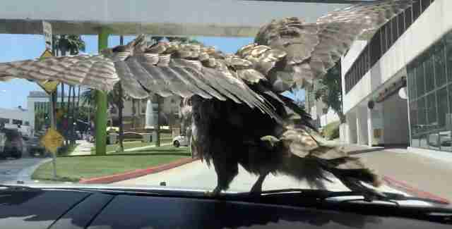 hawk lands on car