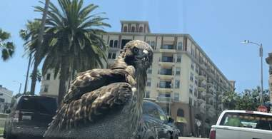 hawk lands on car