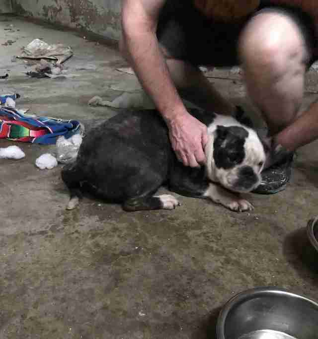 A bulldog saved from an abandoned basement