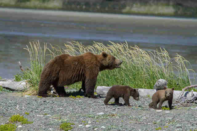 Alaskan brown bears in danger because of proposed pebble mine