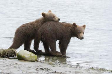 Alaskan brown bears in danger because of proposed pebble mine