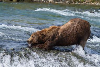 Wild grizzly bear in Alaska