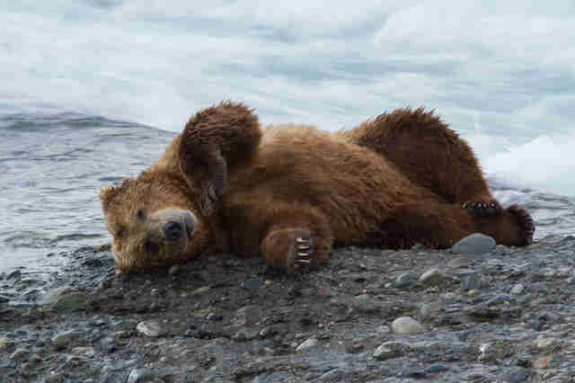 Bear in Bristol Bay, Alaska