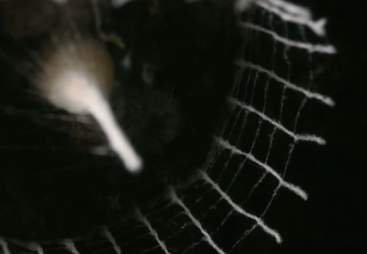 Structure built by the mysterious silkhenge spider in South America