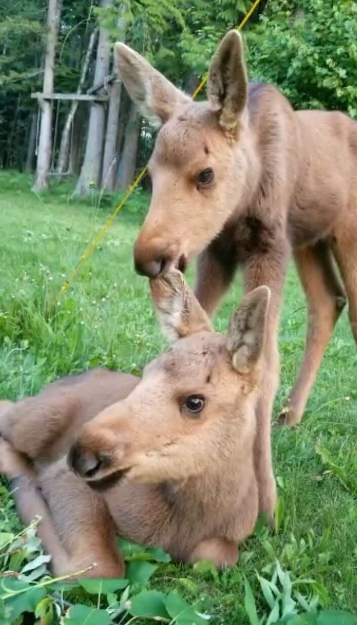 Baby moose siblings rescued in British Columbia