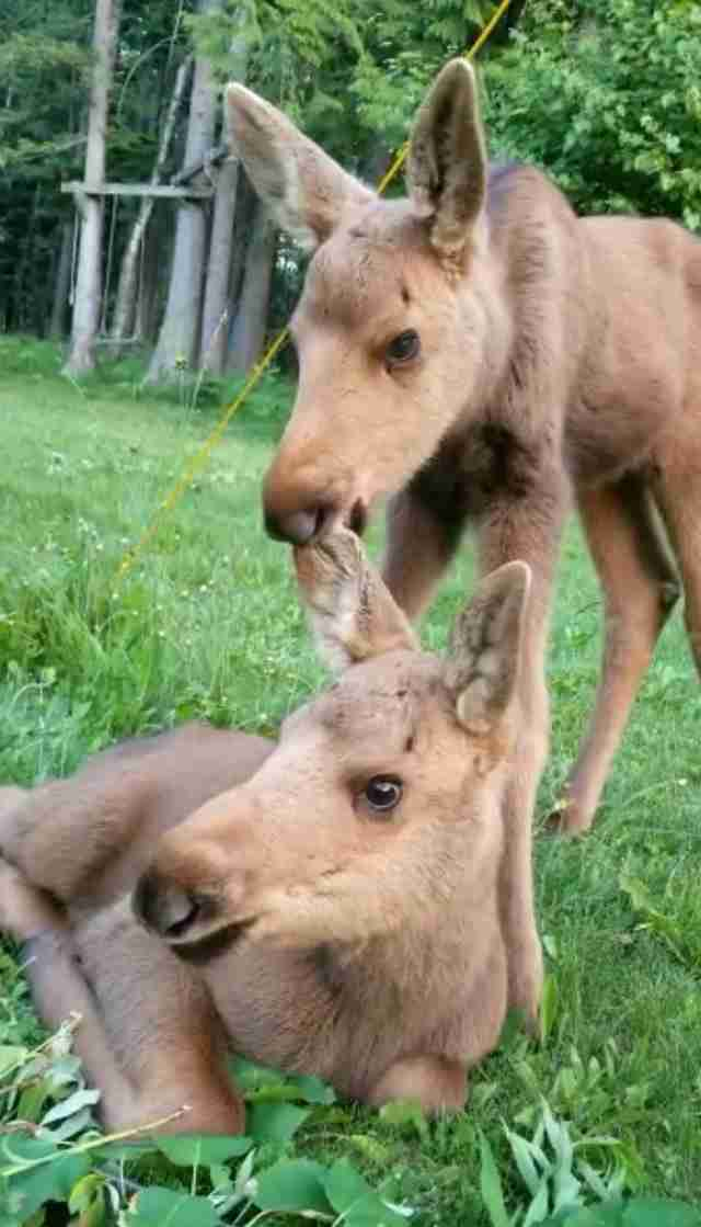 Baby moose siblings rescued in British Columbia