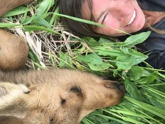 Baby moose snuggling with rescuer