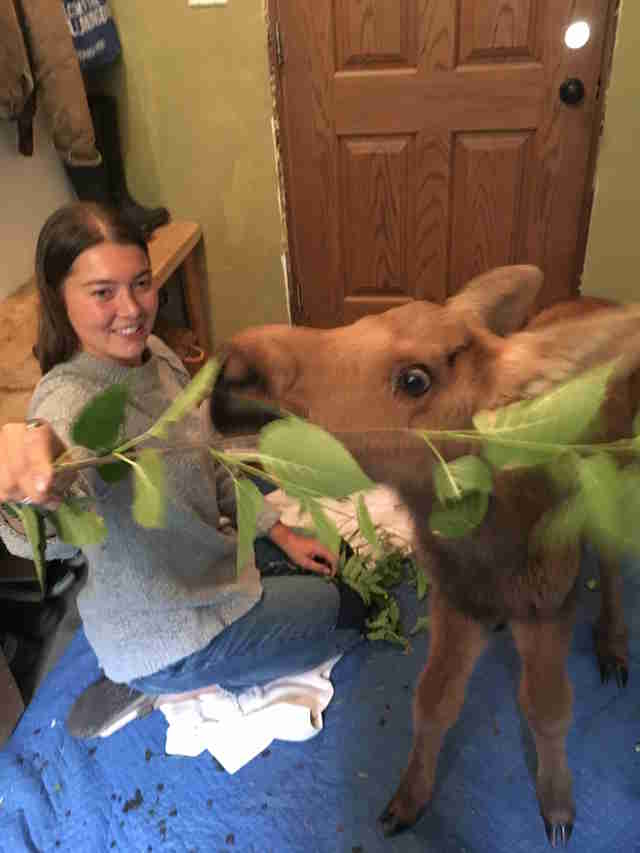 Rescued moose calf