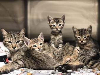 A litter of homeless kittens at the Harris County Animal Shelter
