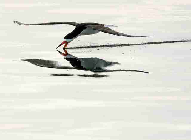 Skimmer bird fishing