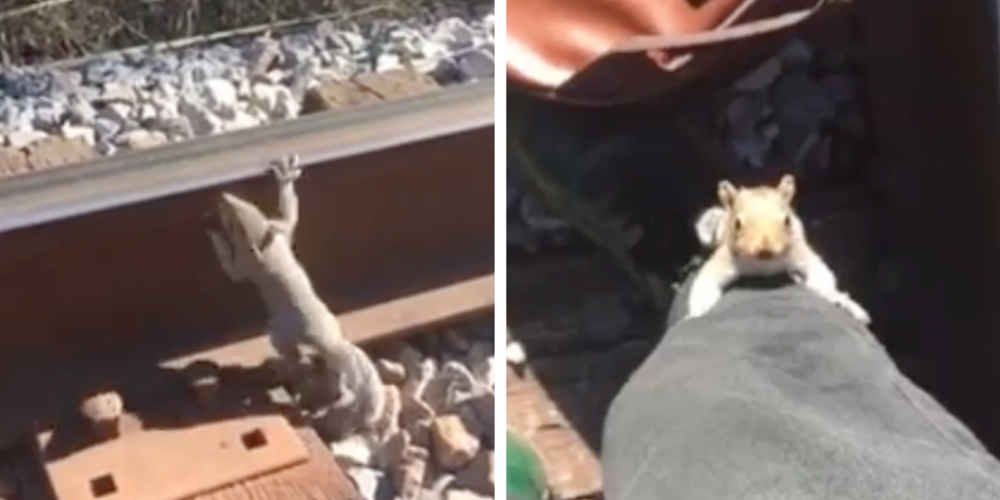 Squirrel Trapped On Railroad Track Decides To Ask Random Human For Help