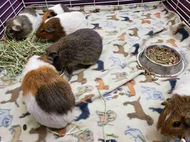 35 guinea pigs