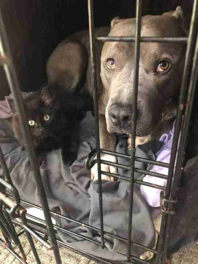 pit bull and kitten