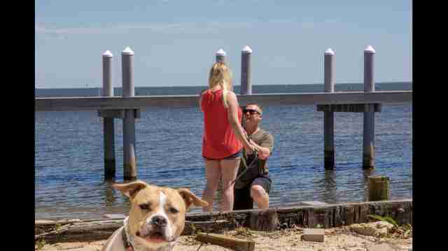 pit bull engagement