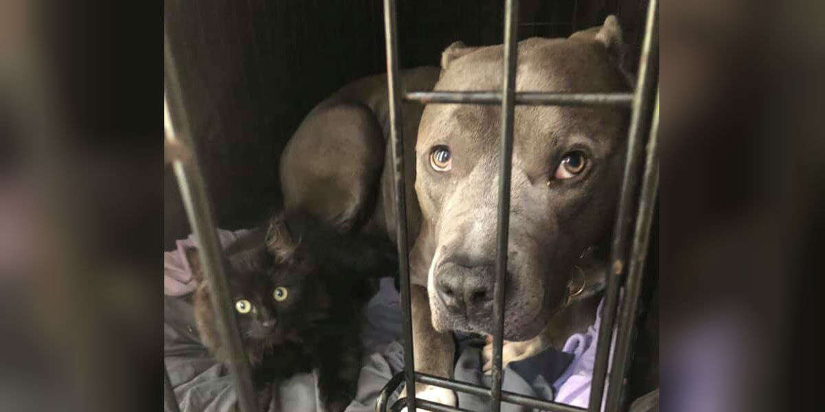 This Mom Can't Say No When Rescued Pit Bull Convinces Her To Adopt Their Foster Kitten
