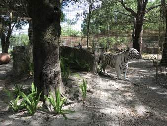 Rescued white tiger Sapphire at Florida sanctuary