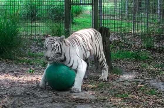 White tiger playing with toy ball at sanctuary in Florida