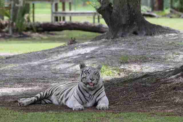 Rescued white tiger at sanctuary