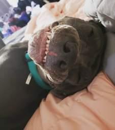 pit bull photobomb