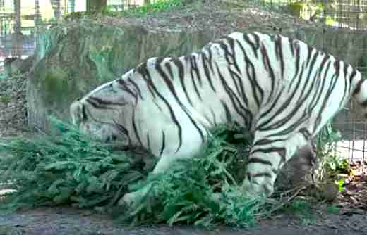 Rescued white tiger playing with Christmas tree
