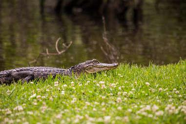 Alligator at Jungle Gardens