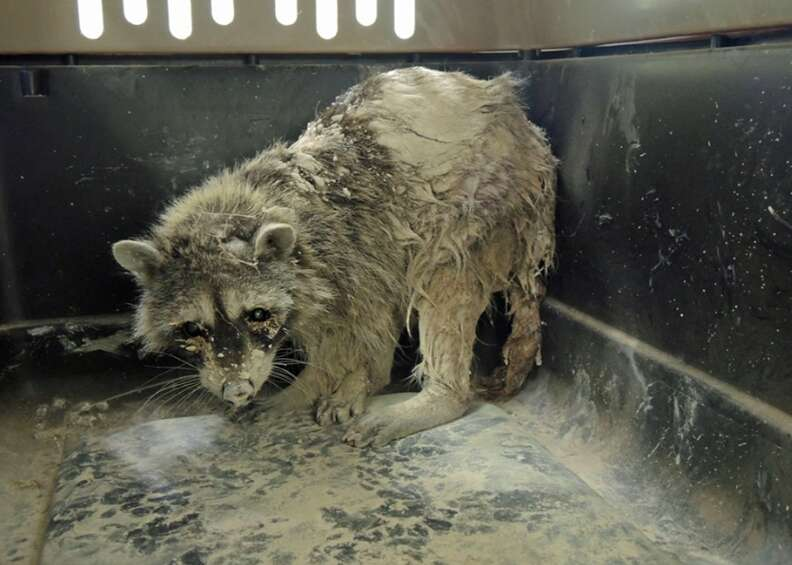 An older female raccoon covered in concrete