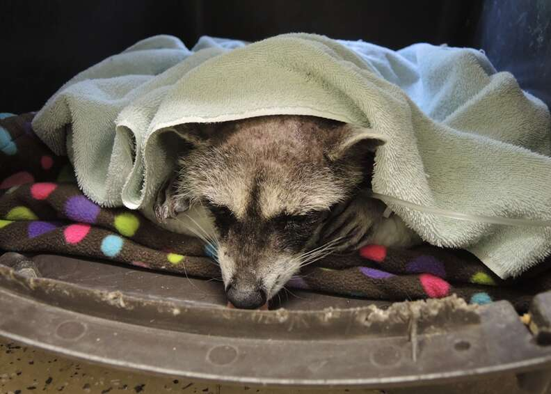 Raccoon covered in cement rests at wildlife center