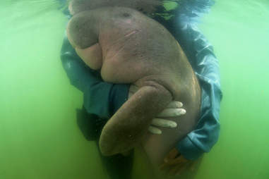 Rescued baby dugong hugging rescuer