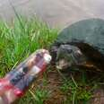 Guy gives random local turtles homemade popsicles