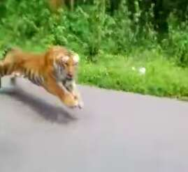 Wild tiger chasing motorcycle in India