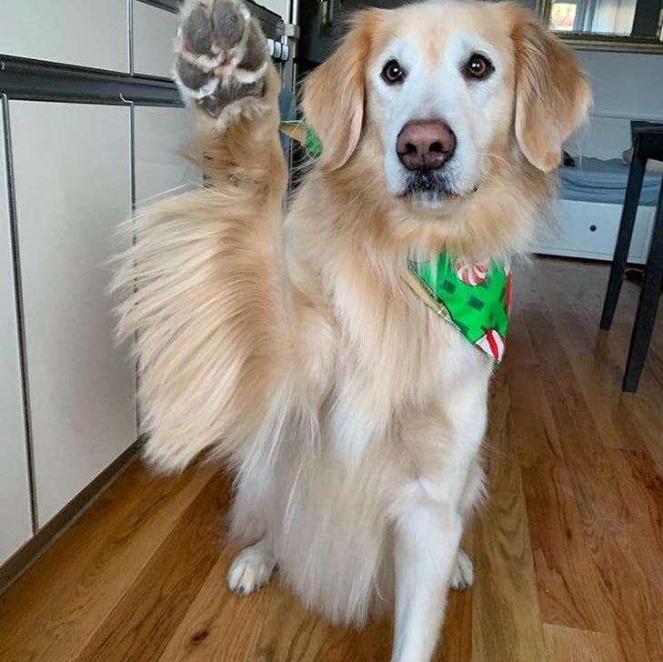 Golden retriever Kimbo