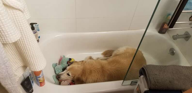Golden retriever in bathtub with all his toys