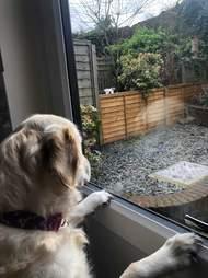Lola waits for Loki by the window
