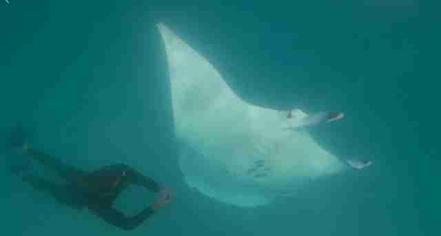 Incredible Footage Shows Giant Manta Ray Approaching Diver To Ask For Help