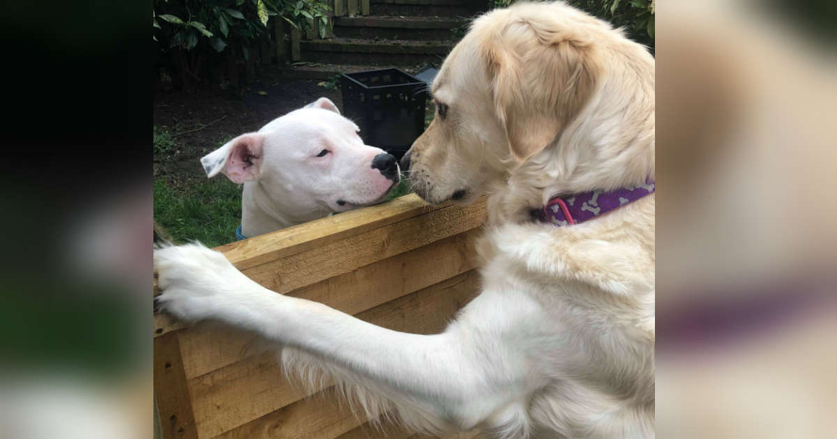 Golden Retriever Falls In Love With Dog Next Door And It's Basically A Fairy Tale