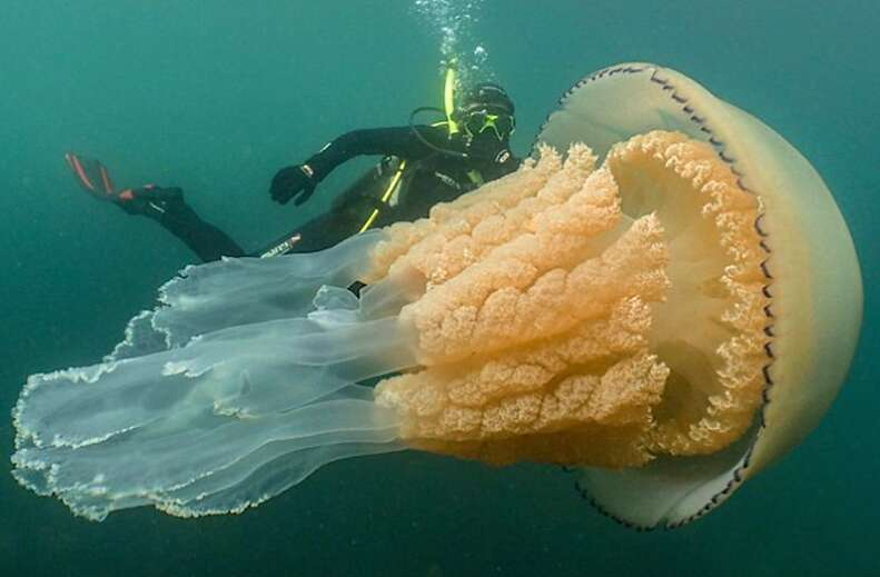 Diver beside giant jellyfish