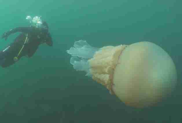 Diver with giant jellyfish