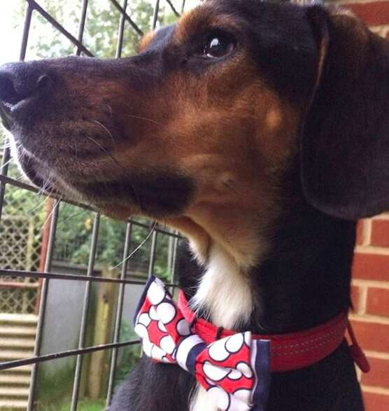 Dog wearing a Beaux & Paws bowtie