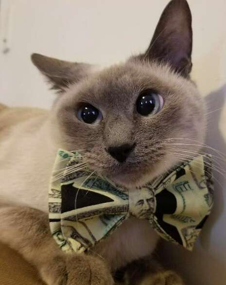 Shelter cat wearing a Beaux & Paws bowtie