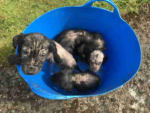Tiny Bald Puppies Found In A Bucket Are So Happy To Be Safe