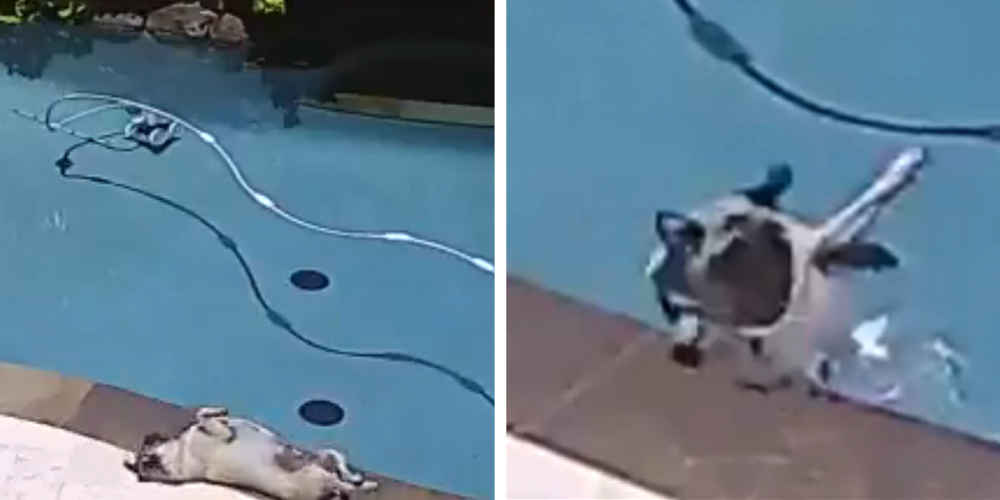 Chubby Pug's Day At The Pool Goes Embarrassingly Wrong