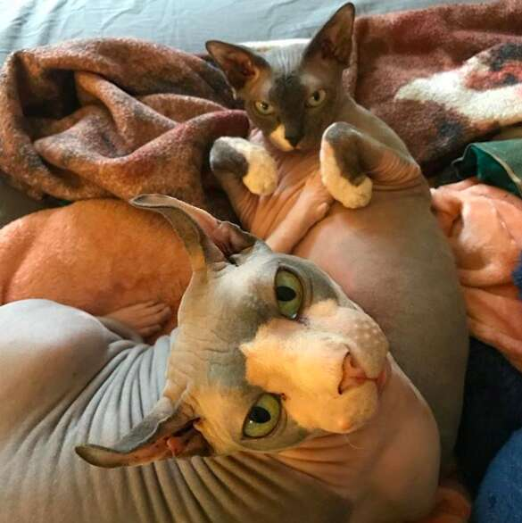 Chubby hairless cat goes on weight-loss challenge