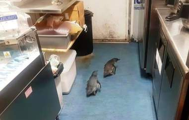 Two little blue penguins in a sushi shop
